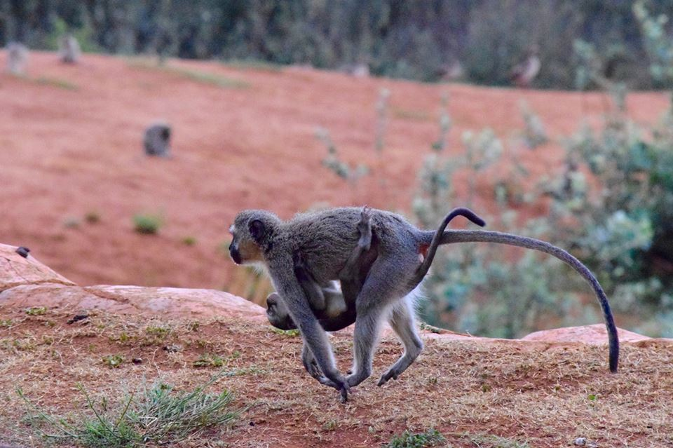 South Africa monkey running